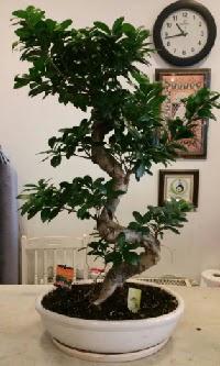 100 cm yüksekliğinde dev bonsai japon ağacı  Kıbrıs çiçek yolla