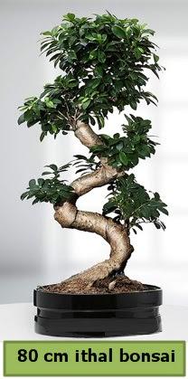 80 cm özel saksıda bonsai bitkisi  Kıbrıs çiçek , çiçekçi , çiçekçilik