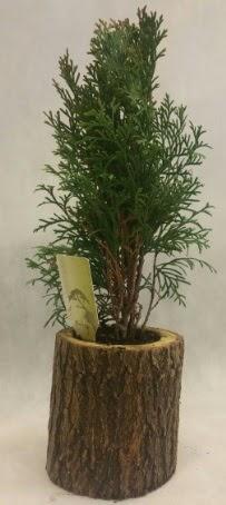 SINIRLI STOK Selvi Bonsai Doğal kütükte  Kıbrıs çiçek yolla