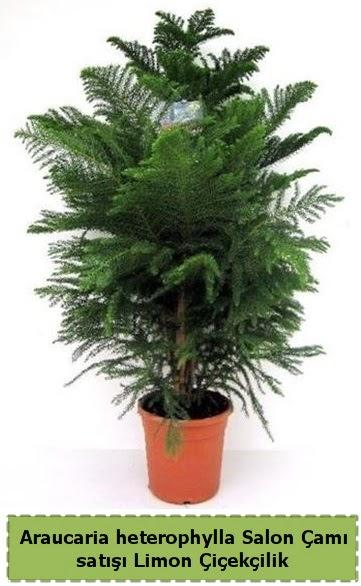Salon Çamı Satışı Araucaria heterophylla  Kıbrıs ucuz çiçek gönder