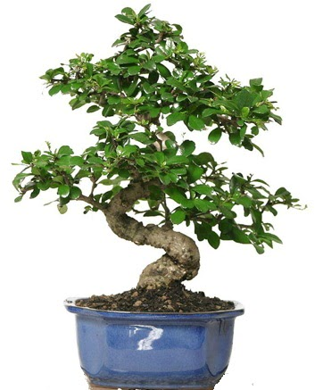 21 ile 25 cm arası özel S bonsai japon ağacı  Kıbrıs çiçek , çiçekçi , çiçekçilik