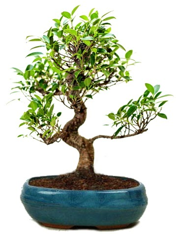 25 cm ile 30 cm aralığında Ficus S bonsai  Kıbrıs çiçek gönderme