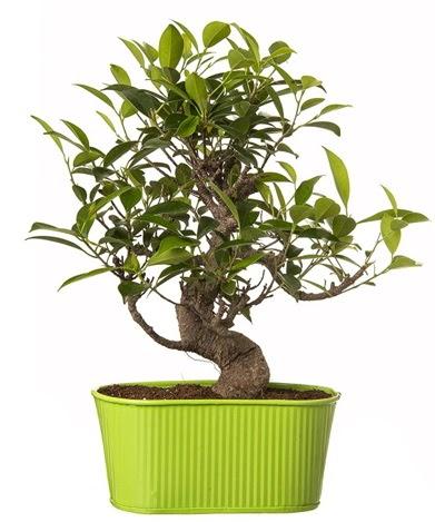 Ficus S gövdeli muhteşem bonsai  Kıbrıs çiçekçiler