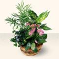 Kıbrıs ucuz çiçek gönder  5 adet canli çiçek sepette