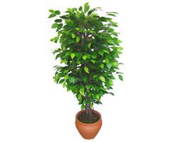Ficus Benjamin 1,50 cm   Kıbrıs çiçek online çiçek siparişi