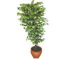 Ficus özel Starlight 1,75 cm   Kıbrıs uluslararası çiçek gönderme