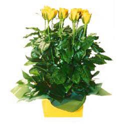 11 adet sari gül aranjmani  Kıbrıs İnternetten çiçek siparişi