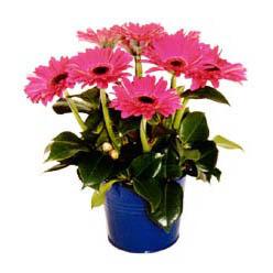 vazo içerisinde gerbera çiçekleri   Kıbrıs cicekciler , cicek siparisi