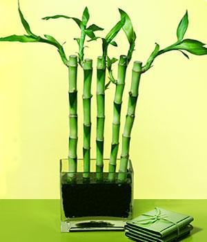 Kıbrıs çiçek online çiçek siparişi  Good Harmony Lucky Bamboo camda