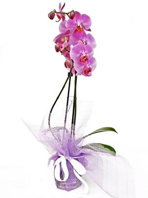 Kıbrıs çiçek online çiçek siparişi  Kaliteli ithal saksida orkide