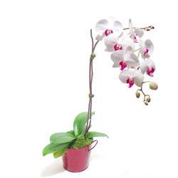 Kıbrıs çiçek satışı  Saksida orkide