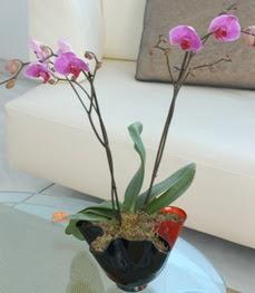 Kıbrıs internetten çiçek satışı  tek dal ikili orkide saksi çiçegi