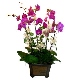 Kıbrıs uluslararası çiçek gönderme  4 adet orkide çiçegi