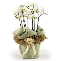 Kıbrıs çiçekçiler  3 dal orkide , saksi çiçegi , 3 kök orkide