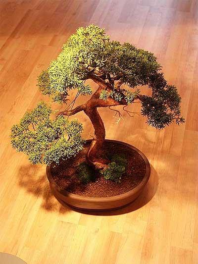 ithal bonsai saksi çiçegi  Kıbrıs güvenli kaliteli hızlı çiçek