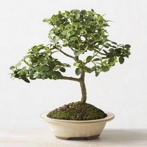 ithal bonsai saksi çiçegi  Kıbrıs çiçek mağazası , çiçekçi adresleri