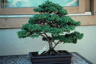 ithal bonsai saksi çiçegi  Kıbrıs hediye sevgilime hediye çiçek