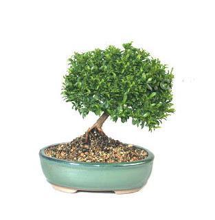 ithal bonsai saksi çiçegi  Kıbrıs 14 şubat sevgililer günü çiçek