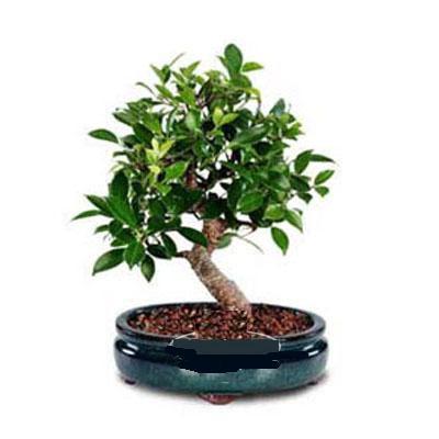 ithal bonsai saksi çiçegi  Kıbrıs çiçekçiler