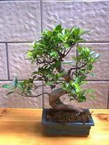 ithal bonsai saksi çiçegi  Kıbrıs çiçek servisi , çiçekçi adresleri