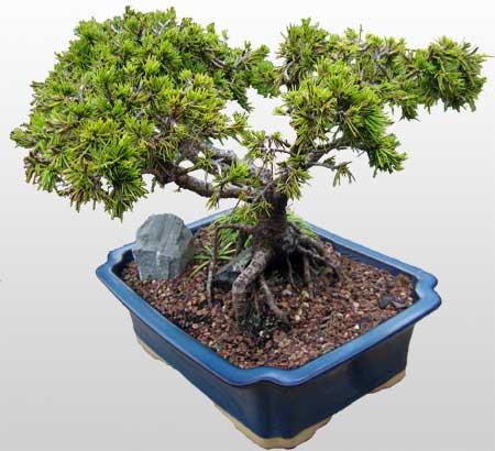 ithal bonsai saksi çiçegi  Kıbrıs internetten çiçek satışı