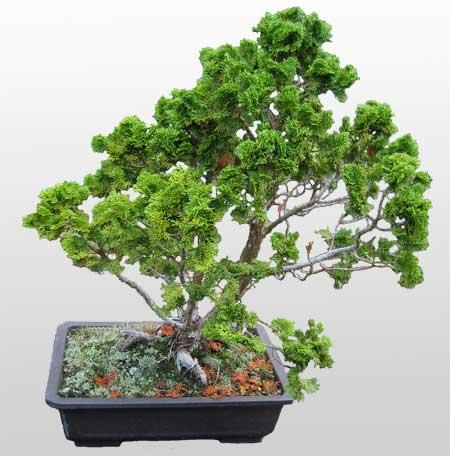 ithal bonsai saksi çiçegi  Kıbrıs çiçek yolla