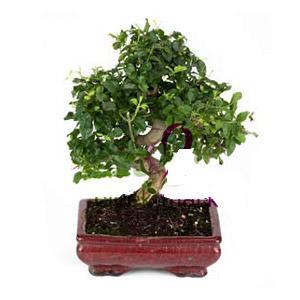 ithal bonsai saksi çiçegi  Kıbrıs çiçek online çiçek siparişi
