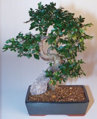 Kıbrıs çiçek gönderme  ithal bonsai saksi çiçegi  Kıbrıs çiçekçiler