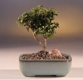 Kıbrıs çiçekçi telefonları  ithal bonsai saksi çiçegi  Kıbrıs internetten çiçek siparişi