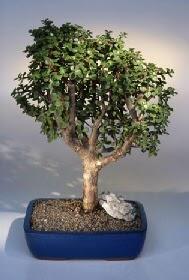 Kıbrıs çiçek satışı  ithal bonsai saksi çiçegi  Kıbrıs çiçek siparişi vermek