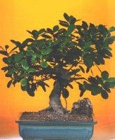 Kıbrıs çiçek , çiçekçi , çiçekçilik  ithal bonsai saksi çiçegi  Kıbrıs online çiçek gönderme sipariş