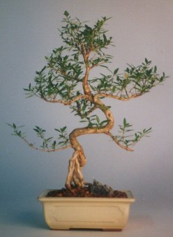 Kıbrıs ucuz çiçek gönder  ithal bonsai saksi çiçegi  Kıbrıs cicek , cicekci