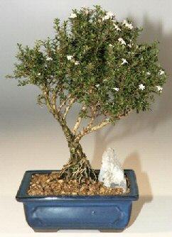Kıbrıs hediye çiçek yolla  ithal bonsai saksi çiçegi  Kıbrıs cicekciler , cicek siparisi