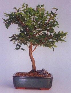 Kıbrıs çiçekçi mağazası  ithal bonsai saksi çiçegi  Kıbrıs çiçek online çiçek siparişi
