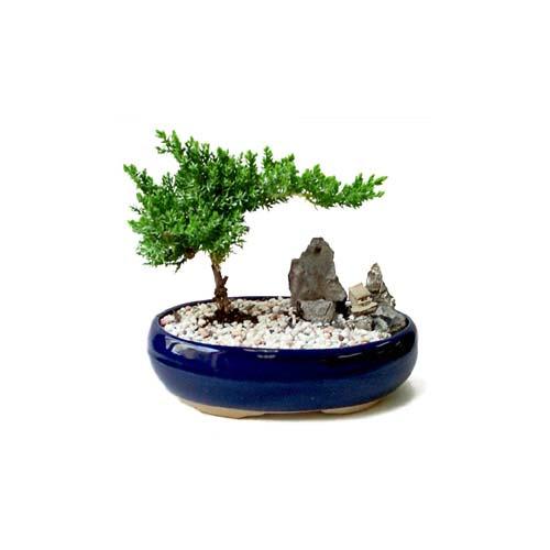 ithal bonsai saksi çiçegi  Kıbrıs çiçek satışı