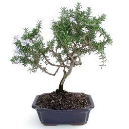 ithal bonsai saksi çiçegi  Kıbrıs çiçek , çiçekçi , çiçekçilik