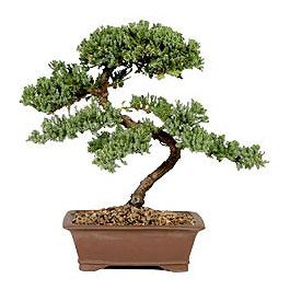 ithal bonsai saksi çiçegi  Kıbrıs çiçek gönderme