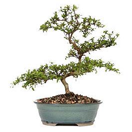 Kıbrıs çiçek yolla  ithal bonsai saksi çiçegi  Kıbrıs çiçek gönderme