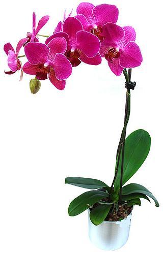 Kıbrıs internetten çiçek satışı  saksi orkide çiçegi