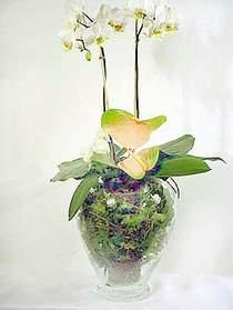 Kıbrıs ucuz çiçek gönder  Cam yada mika vazoda özel orkideler