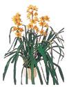 Kıbrıs çiçek siparişi vermek  Orchiede ithal büyük boy saksi