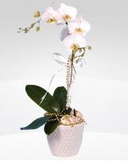 1 dallı orkide saksı çiçeği  Kıbrıs İnternetten çiçek siparişi