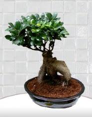 saksı çiçeği japon ağacı bonsai  Kıbrıs yurtiçi ve yurtdışı çiçek siparişi
