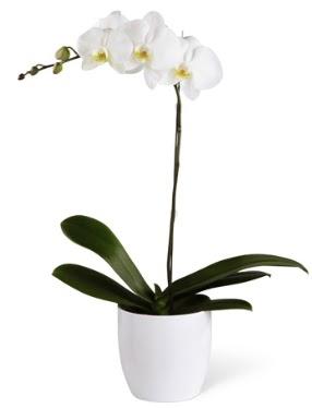 1 dallı beyaz orkide  Kıbrıs hediye sevgilime hediye çiçek