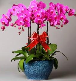 7 dallı mor orkide  Kıbrıs çiçek mağazası , çiçekçi adresleri