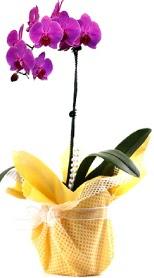 Kıbrıs çiçekçiler  Tek dal mor orkide saksı çiçeği