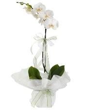 1 dal beyaz orkide çiçeği  Kıbrıs cicek , cicekci