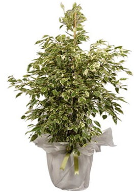 Orta boy alaca benjamin bitkisi  Kıbrıs internetten çiçek siparişi