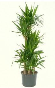 7 li yucca saksı bitkisi  Kıbrıs kaliteli taze ve ucuz çiçekler