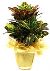 Orta boy kraton saksı çiçeği  Kıbrıs hediye sevgilime hediye çiçek